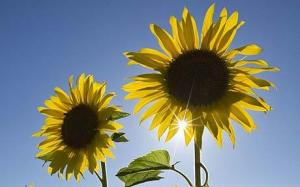 Growing sunflowers may help decontaminate Fukishima Nuclear Power Plant area in years to come